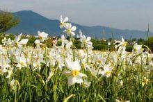 Долина нарцисів масово розквітне до 9 травня