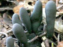 Унікальний гриб знайшли  на території Ужанського нацпарку