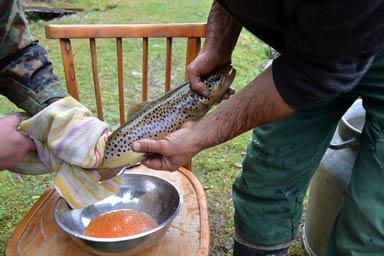 В НПП «Синевир» взялися за штучне відновлення запасів лососевих