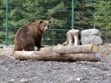 МиколаЇвський «Нібулон» вирішив підгодувати бурих ведмедів «Синевира»
