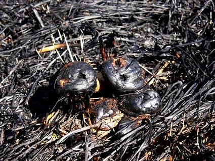В «Анталовецькій поляні»  згоріли червонокнижні рослини
