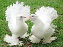 В Ужгороді відбудеться виставка голубів