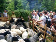 У неділю на Міжгірщині відбудеться традиційне вівчарське свято