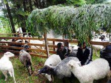 НА МІЖГІРЩИНІ ПРОВЕЛИ вівчарів