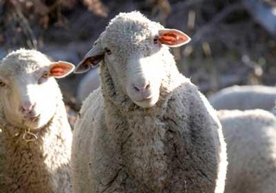 Вівці мої, вівці