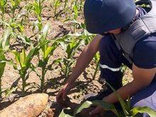 Урожай… боєприпасів зібрали на кукурудзяному полі