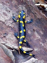Напередодні року змії саламандри вийшли зі сплячки
