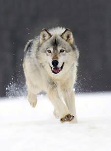 З хащі в райцентр навідуються… вовки
