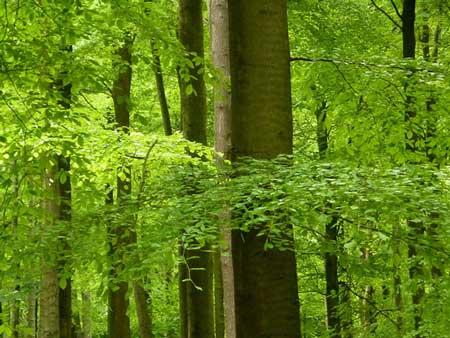 Карпатські букові праліси визнані ЮНЕСКО глобальною цінністю та занесені до переліку об'єктів Всесвітньої природної спадщини.