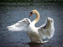 Лебеді у Буштині почуваються  як удома…