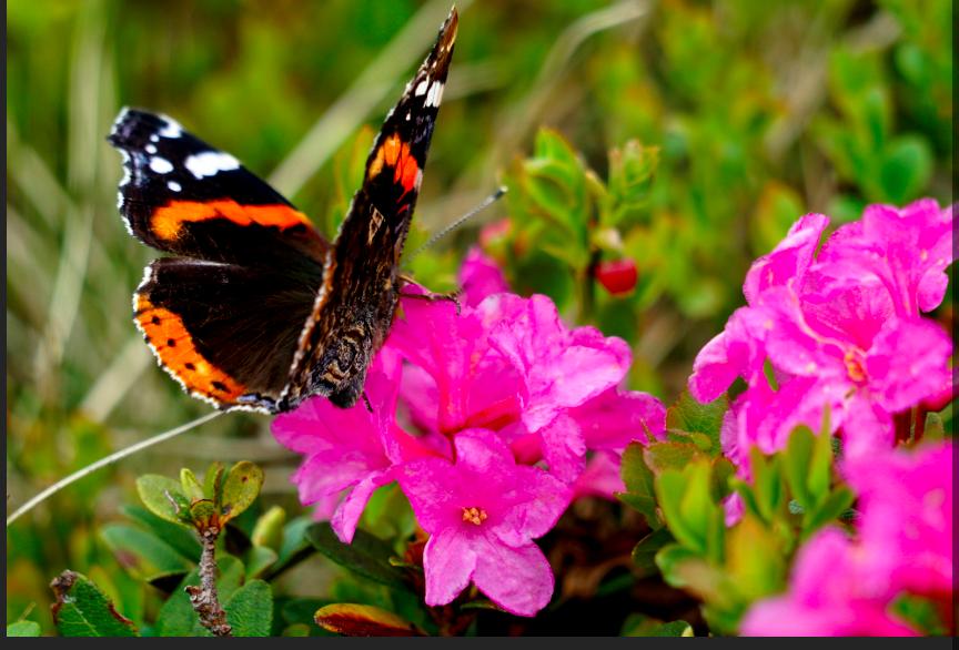 У Карпатах – пік цвітіння легендарної червоної рути