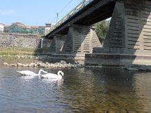 У краї почали гніздитися лебеді дві особини радують око на Ужі