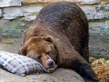 Ведмеді  вже впадають  у зимову сплячку