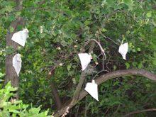У ботанічному саду  нині експериментують із тюльпановим деревом