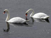 В Ужгороді рятувальникам довелося звільняти лебедів  із крижаної пастки