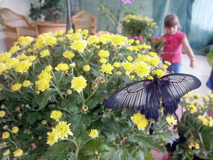 Тропічні метелики оселились у залах ужгородського музею