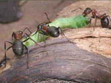 Лісівники ДП «В.Бичківське ЛМГ» розповіли чому не можна руйнувати мурашники