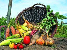 Урожай-2018: яблук вродило нівроку, зате картоплі й овочам спека трохи зашкодила