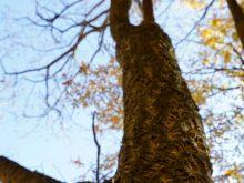 У Воловецькому лісгоспі росте коркове дерево