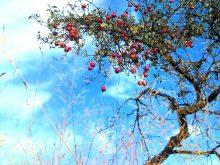 Яблуневий рай у селі Нанково