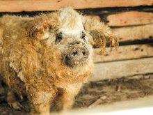 Як почуваються свині-мангалиці у господарстві карпатських буйволів?